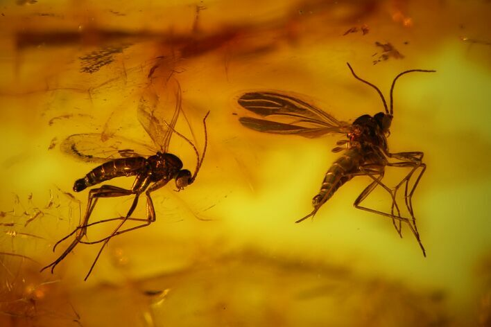 4mm Fossil Fly (Diptera) In Baltic Amber