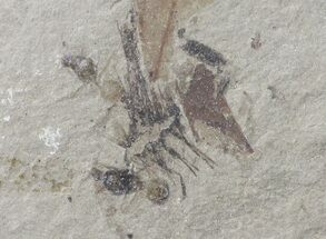 Formicidae - Fossils For Sale - #109209