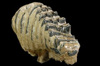 "8.3"" Southern Mammoth Molar - Hungary For Sale, #123641"