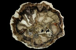 "Buy 10"" Petrified Black Ash (Fraxinus) Round - McDermitt, Oregon - #124243"