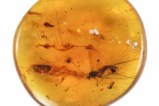 Buy Fossil Crane Fly (Diptera) with Long Antennae in Amber - Myanmar - #124357