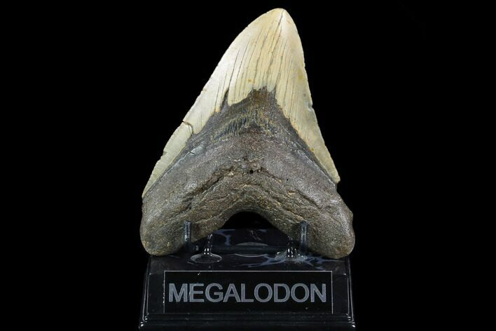 "5.25"" Fossil Megalodon Tooth - North Carolina"