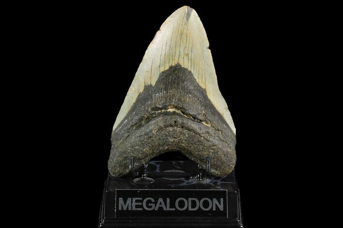 "5.23"" Fossil Megalodon Tooth - North Carolina"