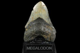 "Buy 5.17"" Fossil Megalodon Tooth - North Carolina - #124393"
