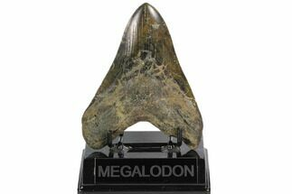 "4.91"" Fossil Megalodon Tooth - South Carolina For Sale, #124547"