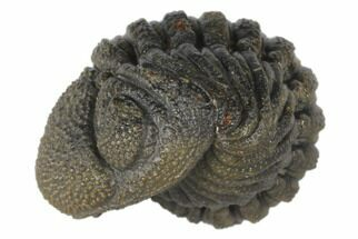 "Buy .95"" Wide, Bumpy, Enrolled Morocops Trilobite - #125155"