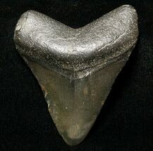 "1.88"" Juvenile Megalodon Tooth - South Carolina For Sale, #8714"