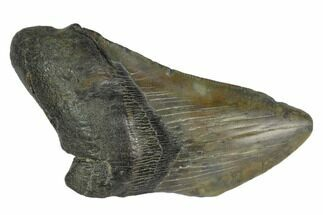 "4.5"" Partial Fossil Megalodon Tooth - South Carolina For Sale, #125255"