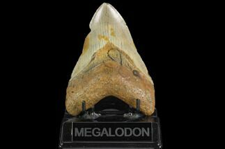 "Buy 4.69"" Fossil Megalodon Tooth - North Carolina - #124675"