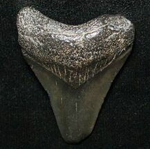 "Buy 1.45"" Juvenile Megalodon Tooth - South Carolina - #8722"