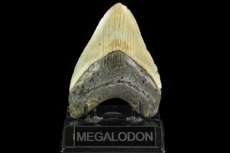 Carcharocles megalodon - Fossils For Sale - #124680