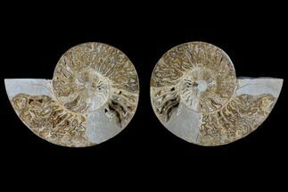 "12.8"" Daisy Flower Ammonite (Choffaticeras) - Madagascar For Sale, #125495"
