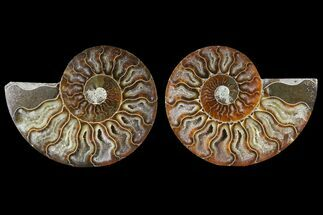 Cleoniceras - Fossils For Sale - #125001
