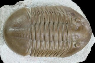"2.8"" Asaphus Lepidurus Trilobite - Beautiful Specimen For Sale, #125663"