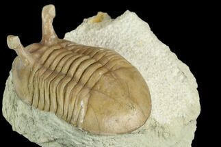 "1.65"" Stalk-Eyed Asaphus Kowalewskii Trilobite - Russia For Sale, #125642"