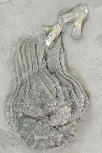 "2.25"" Crinoid (Platycrinites) With Coral - Crawfordsville, Indiana"