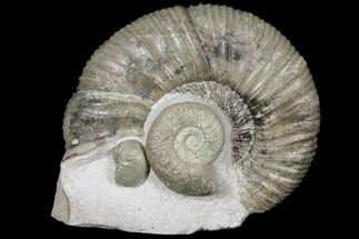 Orthosphinctes (Lithacosphinctes) sp. & Sutneria platynota - Fossils For Sale - #125892