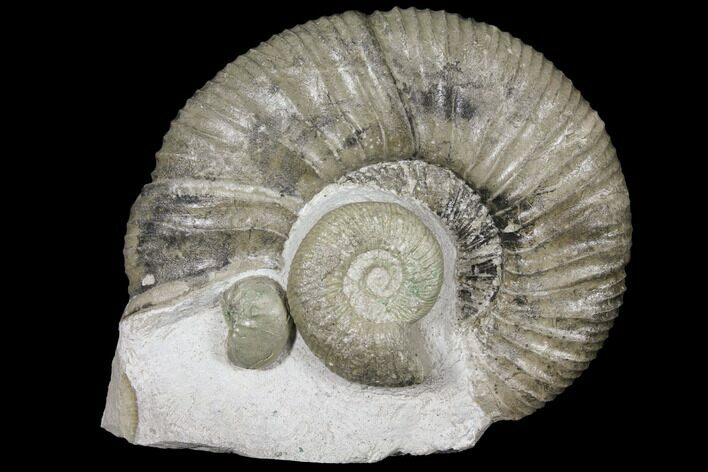 "4.1"" Ammonite (Orthosphinctes & Sutneria) Fossils - Germany"