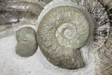 "4.1"" Ammonite (Orthosphinctes & Sutneria) Fossils - Germany - #125892-1"