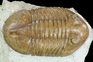 Asaphus plautini  - Fossils For Sale - #126129