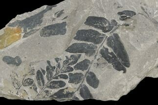 "4.2"" Pennsylvanian Fossil Fern (Neuropteris) Plate - Kentucky For Sale, #126239"