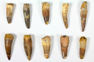 "Wholesale Lot: 1.6 to 2.3"" Bargain Spinosaurus Teeth - 10 Pieces For Sale, #126278"
