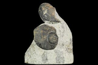 Two Devonian Gastropod Fossils - Issoumour, Morocco For Sale, #126272