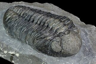 "3.05"" Pedinopariops Trilobite - Mrakib, Morocco For Sale, #126320"