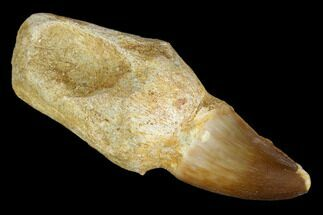 Prognathodon sp.  - Fossils For Sale - #116958