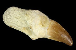 "2.8"" Fossil Rooted Mosasaur (Prognathodon) Tooth - Morocco For Sale, #116960"