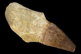 "2.8"" Fossil Rooted Mosasaur (Prognathodon) Tooth - Morocco For Sale, #116906"