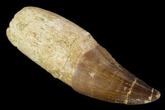 "Buy 2.7"" Fossil Rooted Mosasaur (Prognathodon) Tooth - Morocco - #116911"