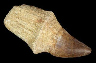 "2.5"" Fossil Rooted Mosasaur (Prognathodon) Tooth - Morocco For Sale, #116921"