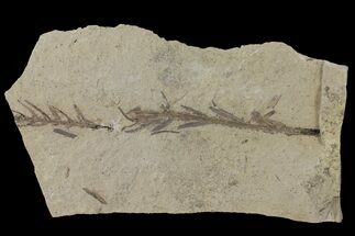 Dawn Redwood (Metasequoia) Fossils - Montana For Sale, #126641
