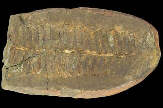 "Buy 2.1"" Fossil Fern (Pecopteris) - Mazon Creek - #121057"