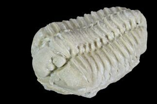 "1.1"" Calymene Celebra Trilobite - Illinois For Sale, #126812"