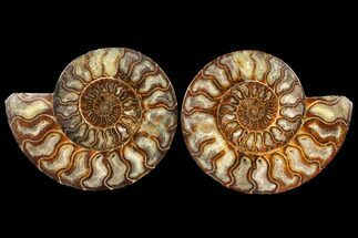 Cleoniceras - Fossils For Sale - #127251