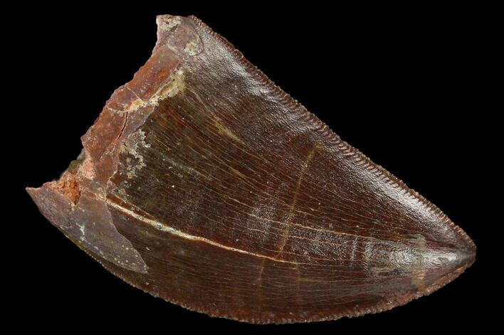 "Serrated, 1.57"" Carcharodontosaurus Tooth - Beautiful Preservation"