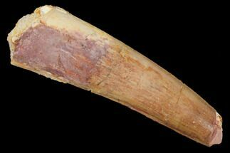 "2.29"" Spinosaurus Tooth - Real Dinosaur Tooth For Sale, #127547"