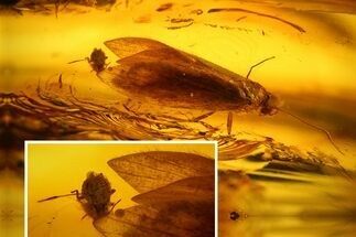 Detailed Fossil Caddisfly and Aphid in Baltic Amber For Sale, #128288