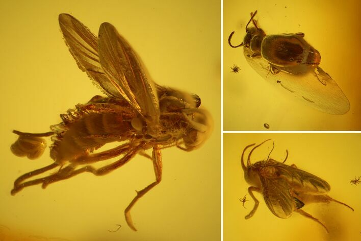 Fossil Beetle (Coleoptera) & Two Flies (Diptera) In Baltic Amber
