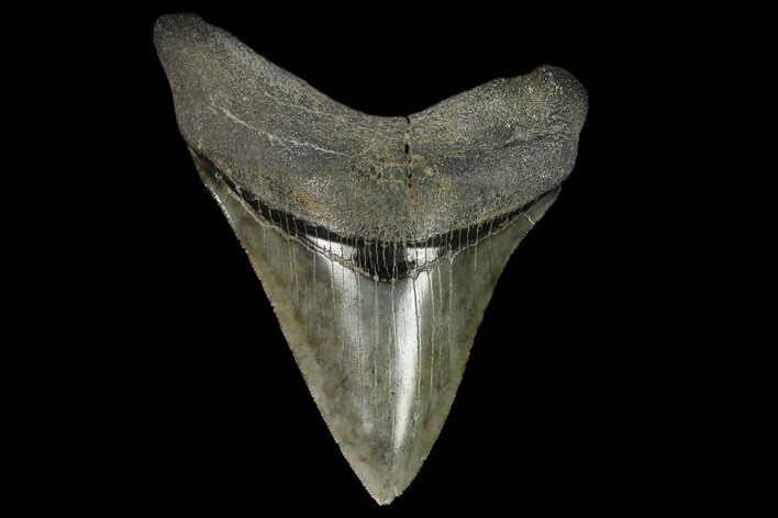 "Serrated 4.48"" Fossil Megalodon Tooth - South Carolina"