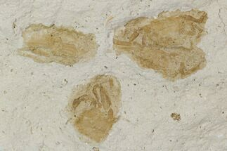 Buy Four Fossil Pea Crabs (Pinnixa) From California - Miocene - #128104