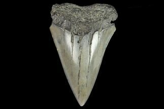 Carcharodon (Isurus) hastalis - Fossils For Sale - #128766