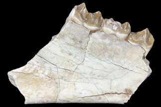"3"" Oreodont (Merycoidodon) Jaw Section - South Dakota For Sale, #128111"