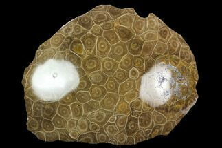 "Buy 5.45"" Polished Fossil Coral (Actinocyathus) Head - Morocco - #128185"