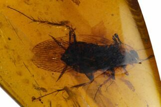 Detailed Fossil Cockroach (Blattodea) In Amber - Myanmar For Sale, #128894