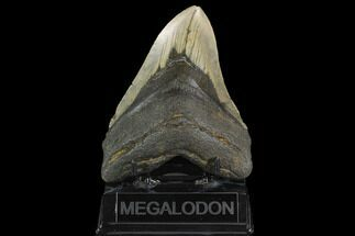 "5.19"" Fossil Megalodon Tooth - North Carolina For Sale, #124964"