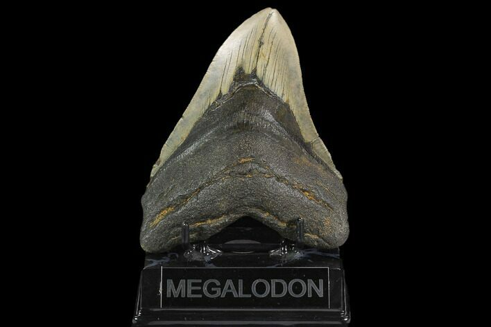 "5.19"" Fossil Megalodon Tooth - North Carolina"