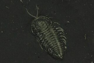 Buy Pyritized Triarthrus Trilobite With Appendages - New York - #129112